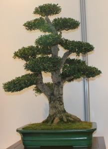 buxus harlandi